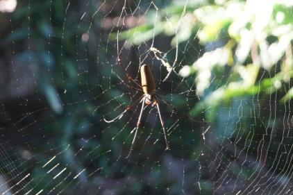 Orb spider002